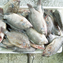 Cheap and Good Quality China Black and Red Tilapia
