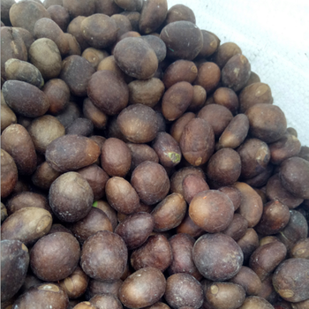 99% Natural Purity Loquat Seeds For Sale