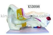 5 times expansion model of ear dissection (external middle and internal ear)