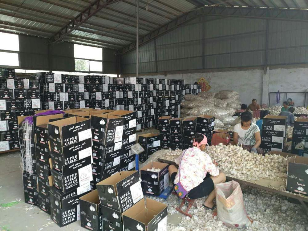 red/ white garlic/factory/cold warehouse/seller