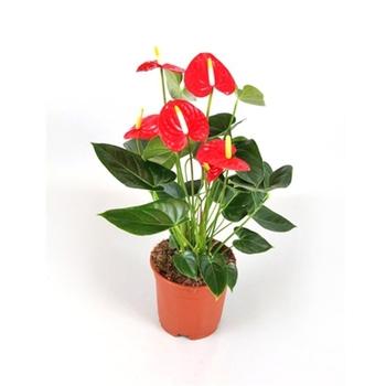 Anthurium Andreanum Pot Plant 14 Cm Buy Anthurium