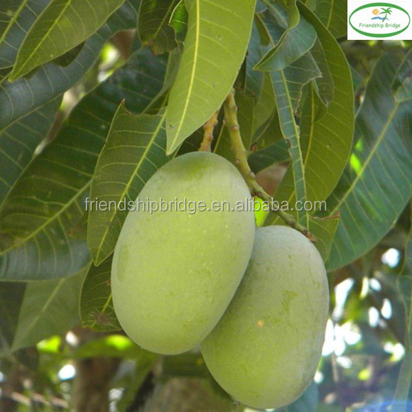 Natural plants mango trees