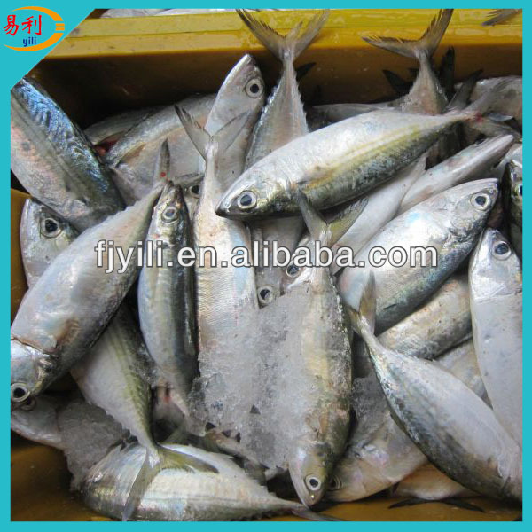 Supply frozen Indian mackerel whole round from facotry directly