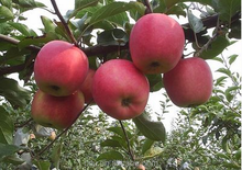 Apple Type And Pome Fruit Products Type Fresh Red Fuji Apple