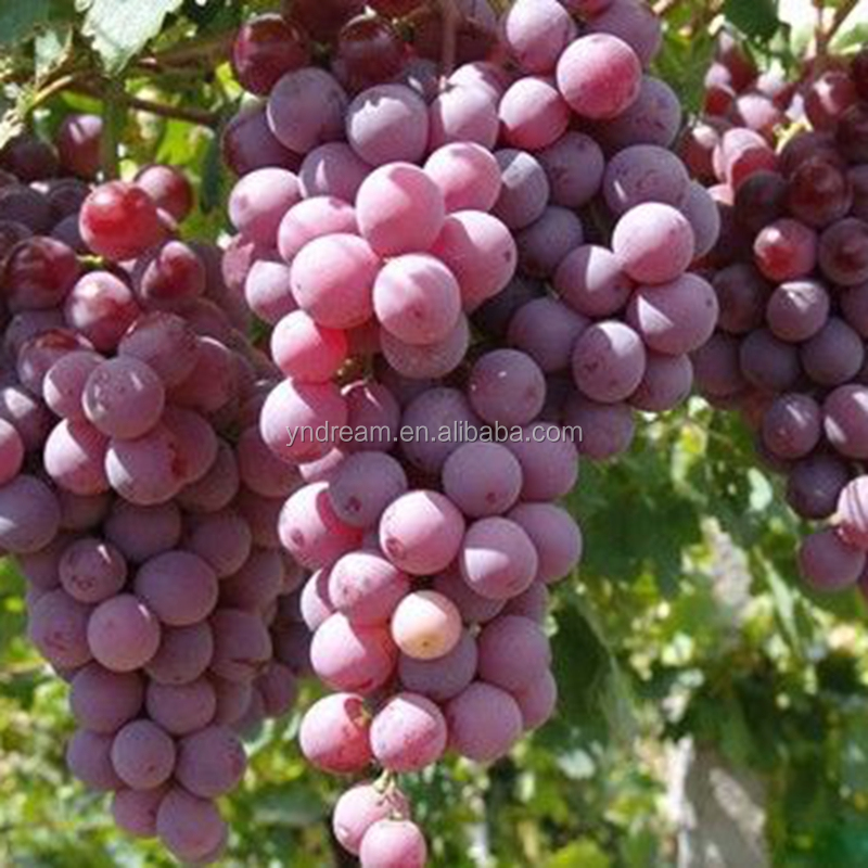 Sweet And Grade A Fresh Grape Fruit For Wine And Juice Use From China