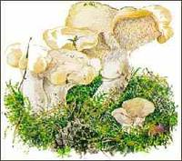 (Hydnum Repandum) Mushrooms