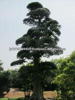 Japanese art garden plants flowering tree varieties maple podocarpus macrophyllus , maki , momiji