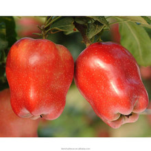 sell chinese 2013 fresh red delicous sweet crispy vitamin and minerals Tianshui huaniu apple