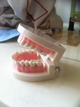 Good quality Dental Study model / Plastic teeth model