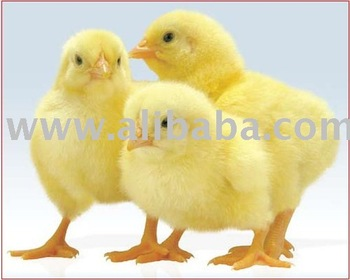 DAY OLD COBB BROILER CHICKS & ALL POULTRY EQUIPMENTS
