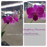 Orchid flower potted plants