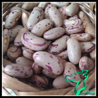 Chinese Origin HPS Quality and Machine Cleaned Quality Light Speckled Sugar Beans or Chitra Rajma A Grade For Sale