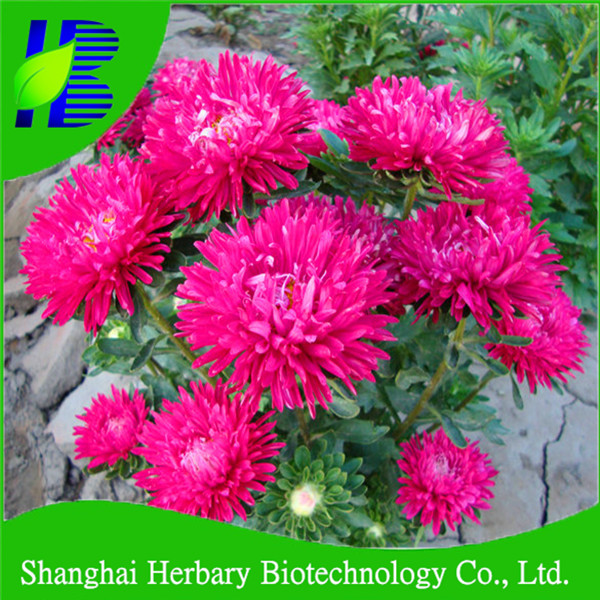 2017 Shanghai Herbary wholesale flower seeds China aster seeds