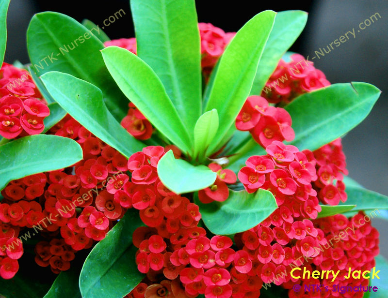 "Live Ornamental Plants and Euphorbia milii plant ""Cherry Jack"""