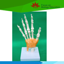 Low priced hospital school use hand skeleton joint function biology model for teaching