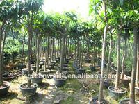 Mangos fruit trees for garden