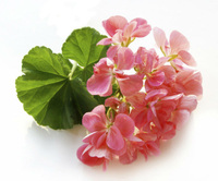 Natural Geranium essential oil Price Wholesale