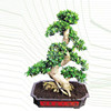 Wholesale bonsai plants