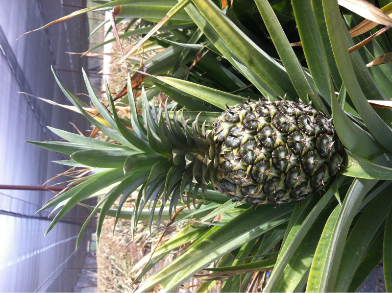 Tissue culture pineapple plants in-vitro