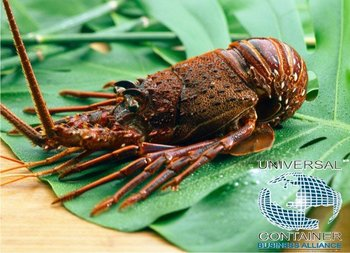 Live & Frozen Lobster (mexico) - Buy Lobster (panulirus Interruptus) Product on Alibaba.com
