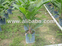 Hypergene Introgressed Palm Oil Seedlings