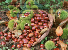 Fresh chestnuts/Frozen peeled chestnuts with very high quality