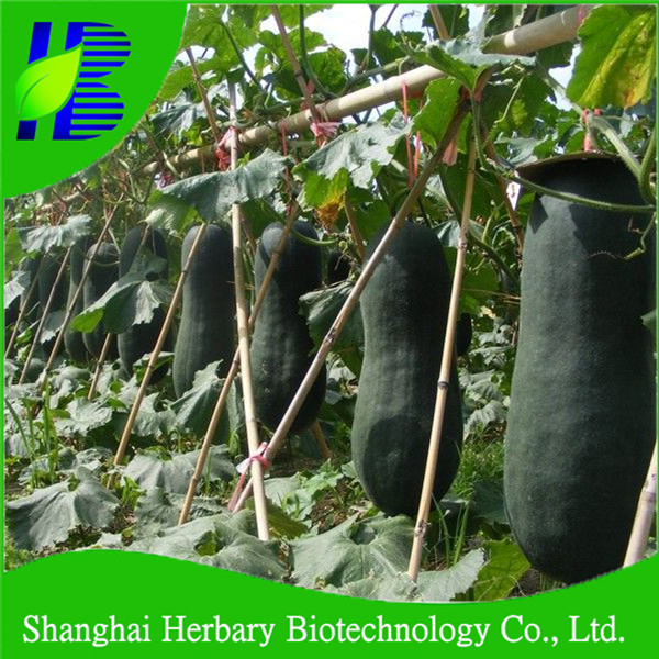 2017 Hot sale hybrid Chinese winter melon for large scale planting