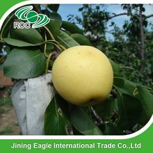 New crop good fresh fruit emerald pear