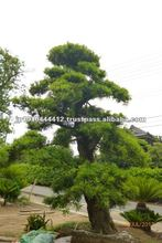 Bonsai pine wood for garden design of Zen