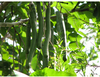 HIGH QUALITY Best Quality of CASSIA Fistula / Amaltas available to supply