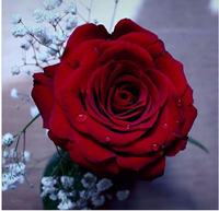 Fresh red rose high quality cut flower preserved roses for sale