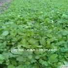 manufacture direct supply high quality Salvia Miltiorrhiza Salvia Root Danshen Extract.(P)