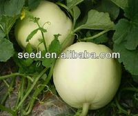 Sweet Girl 3 II hybrid melon seed