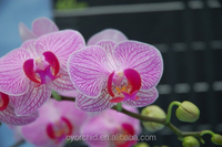 Pink flower Stripes with mauve lip Phalaenopsis mini orchid tissue/ pot plant in Taiwan