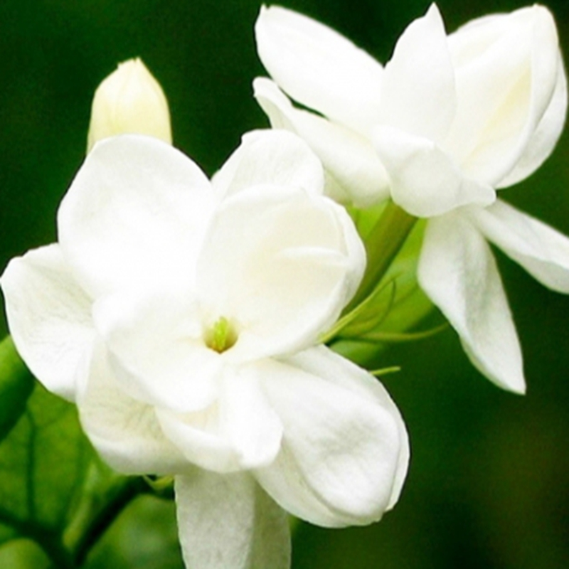 From Kunming natural indian jasmine plant for sale jasmine flower fresh jasmine flowers