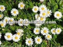 Pure natural german chamomile extract