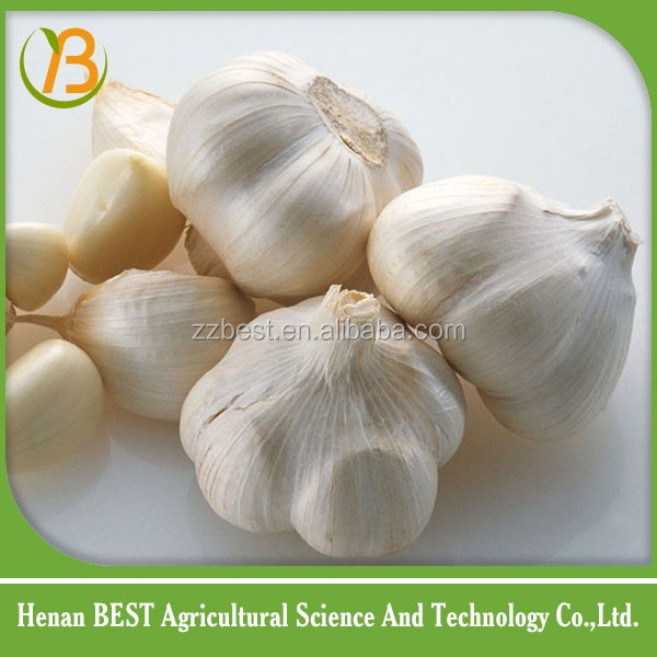 fresh elephant garlic fab price sale from China