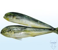 fresh whole mahi mahi or fillet
