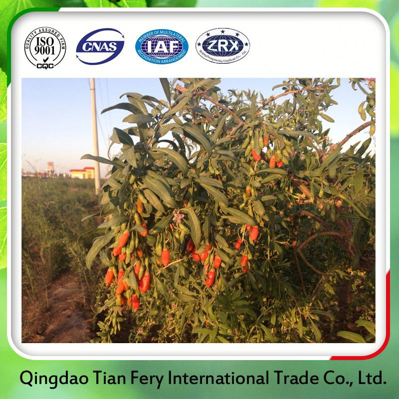 New Season Organic Goji Berry