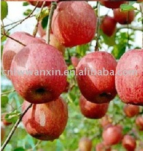 popular nutritious Fuji Apple 75cm factory