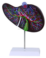 Medical human liver model for teaching