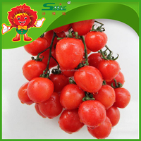 Cherry tomatoes, red tomato fresh fruit for sale