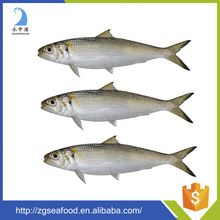 Nutritious Seafood Frozen QS Sardine Fish and mackerel/sardine