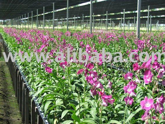 Orchid Cut flower, Orchid plant, Tissue culture propagation