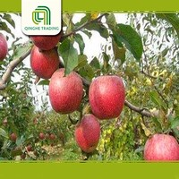 fresh qinguan apples with CE certificate