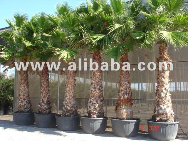 "Washingtonia Robusta ""Mexican Fan Palm"""