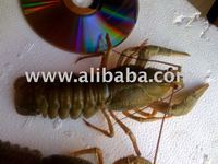 Live freshwater crayfish, crawfish
