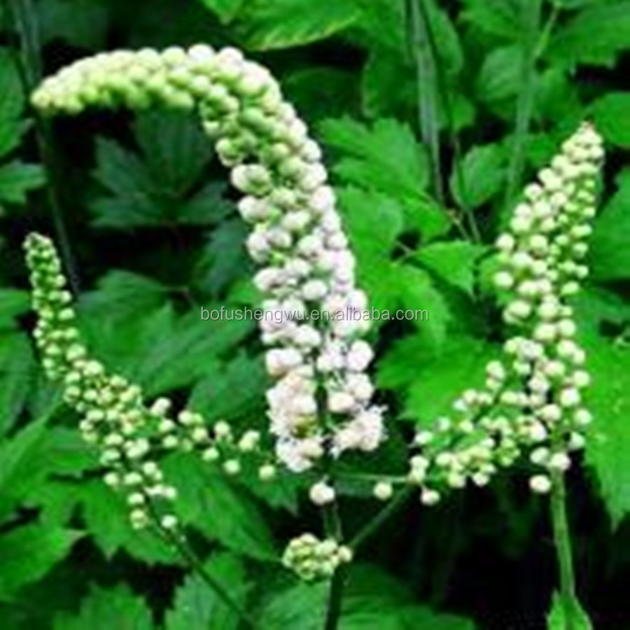 Black Cohosh Extract/High Quality Black Cohosh Extract/Best selling Black Cohosh Extract