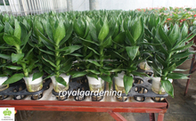 Dracaena sanderiana lotus 3 pcs in one pot