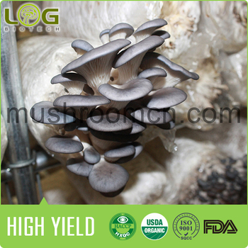 Fresh Growing Oyster Mushroom Log Spawn Cultivating